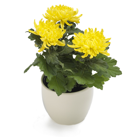 Articles fun raires fleurs chrysanth me jaune e - Chrysantheme entretien ...